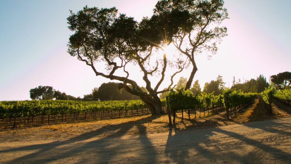 Larner Vineyard Sunset Oak