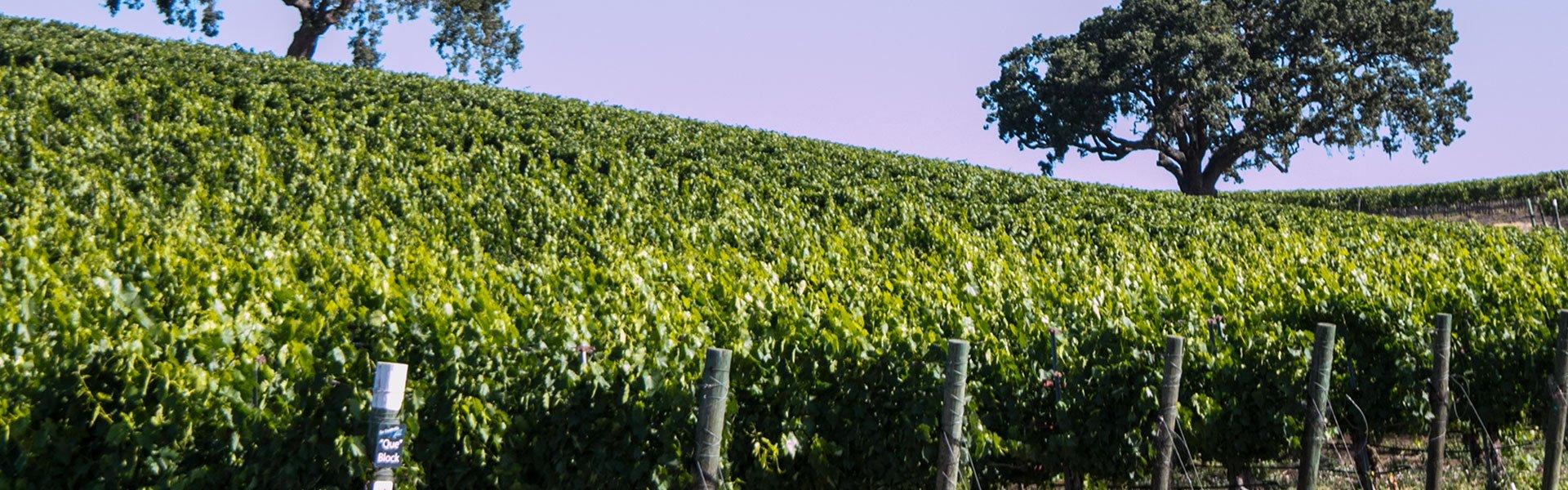 Stoplman-Vineyard
